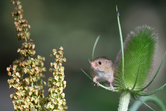 harvestMouse